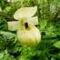 cypripedium flavum creme