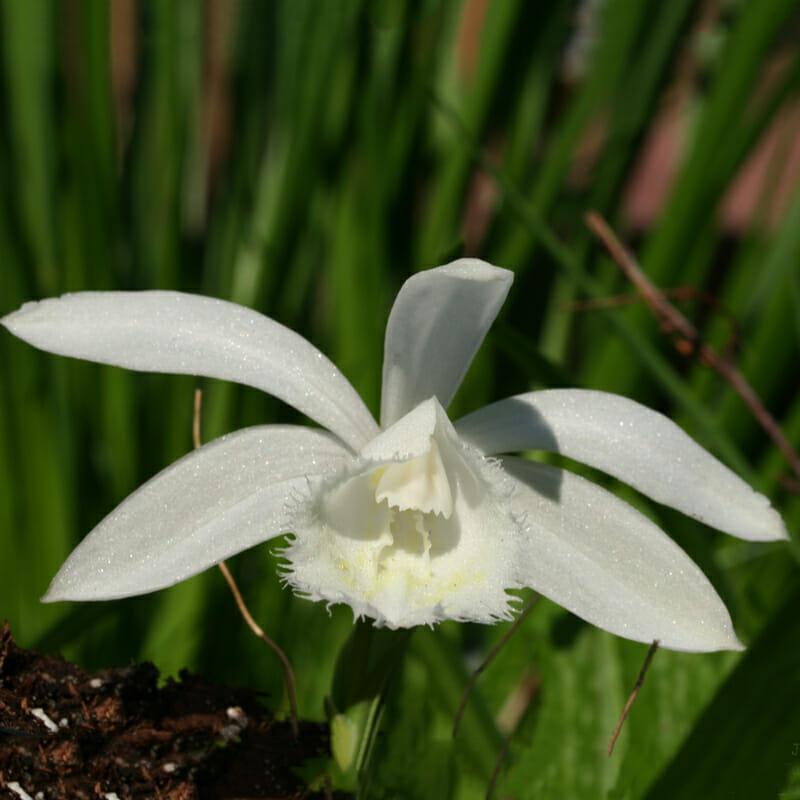 pleione formosana alba